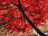 _japan_maple_RamseyLakeTree1_1.jpg: 235k (2013-01-07 10:55)