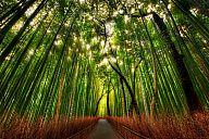 _kyoto_arashiyama_bamboo.jpg: 280k (2013-01-07 10:44)