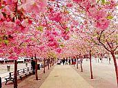 _kyoto_sakura.jpg: 157k (2013-01-07 10:44)