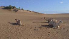 jv_maroko_dromedari_nemaji_hrb.jpg: 39k (2011-10-27 16:51)